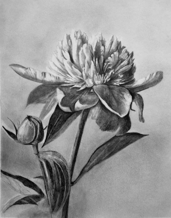 'Peony', graphite drawing of a peony flower, bud and leaves, by Fiona Valentine